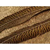 Golden Pheasant Side Tails